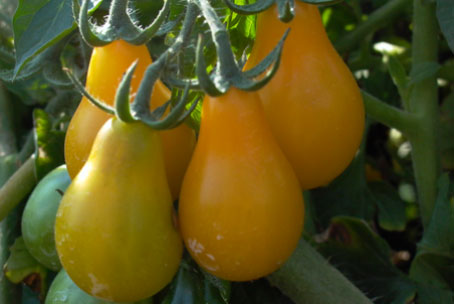 Plump and juicy yellow pear tomatoes.