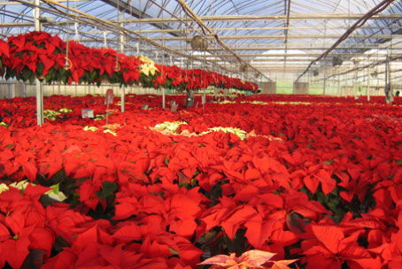 Another crop of poinsettias for your Christmas decorating.